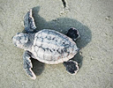 For hatchling sea turtles, foot-sand interaction is vital.